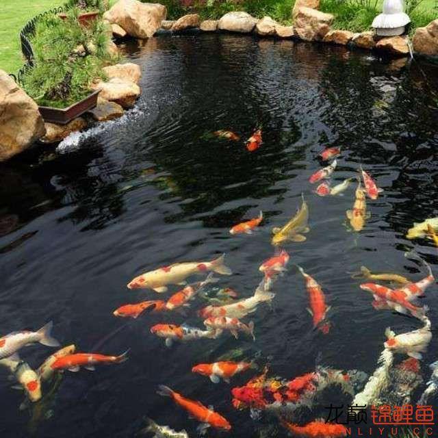 top arowana foodKoi still has to be raised in a pond Aquaculture Forum ASIAN AROWANA,AROWANA,STINGRAY The9sheet