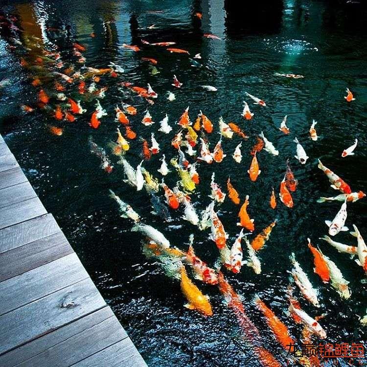 top arowana foodKoi still has to be raised in a pond Aquaculture Forum ASIAN AROWANA,AROWANA,STINGRAY The8sheet