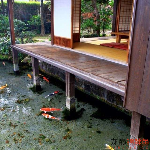 top arowana foodKoi still has to be raised in a pond Aquaculture Forum ASIAN AROWANA,AROWANA,STINGRAY The5sheet