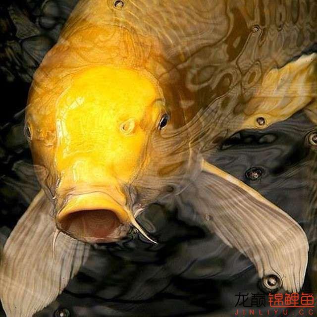 top arowana foodKoi still has to be raised in a pond Aquaculture Forum ASIAN AROWANA,AROWANA,STINGRAY The6sheet