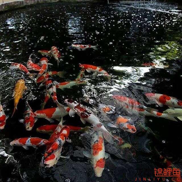 top arowana foodKoi still has to be raised in a pond Aquaculture Forum ASIAN AROWANA,AROWANA,STINGRAY The11sheet