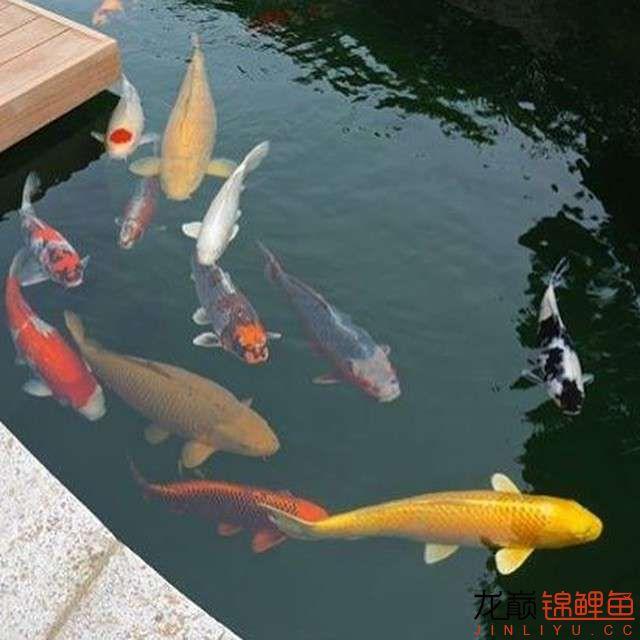 top arowana foodKoi still has to be raised in a pond Aquaculture Forum ASIAN AROWANA,AROWANA,STINGRAY The12sheet