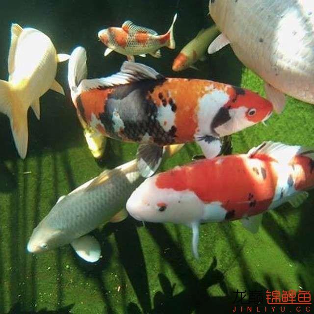 top arowana foodKoi still has to be raised in a pond Aquaculture Forum ASIAN AROWANA,AROWANA,STINGRAY The16sheet