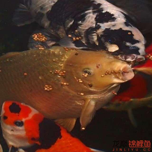 top arowana foodKoi still has to be raised in a pond Aquaculture Forum ASIAN AROWANA,AROWANA,STINGRAY The17sheet