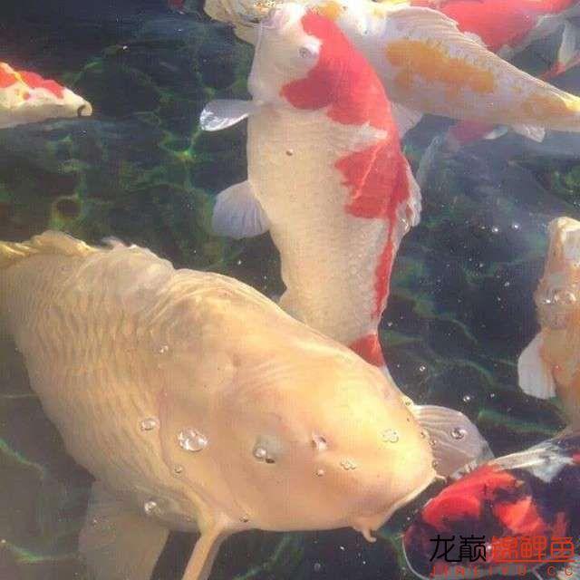top arowana foodKoi still has to be raised in a pond Aquaculture Forum ASIAN AROWANA,AROWANA,STINGRAY The20sheet