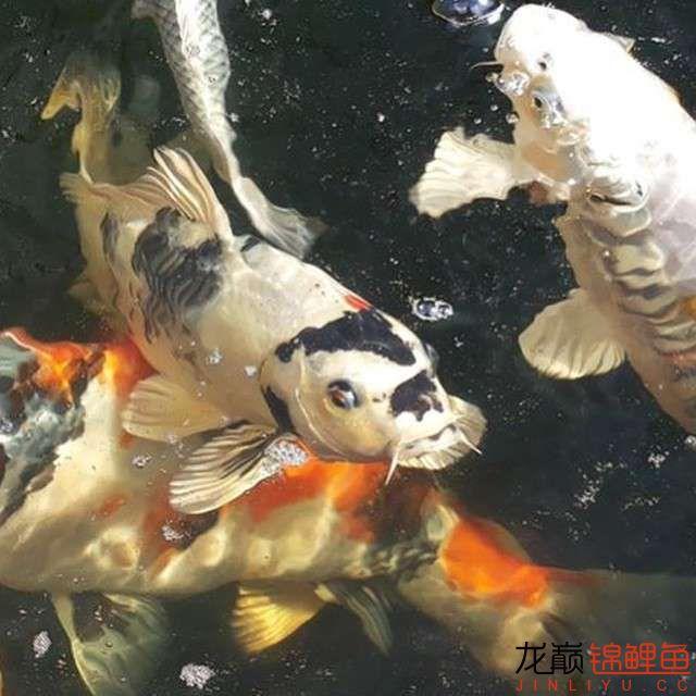top arowana foodKoi still has to be raised in a pond Aquaculture Forum ASIAN AROWANA,AROWANA,STINGRAY The29sheet