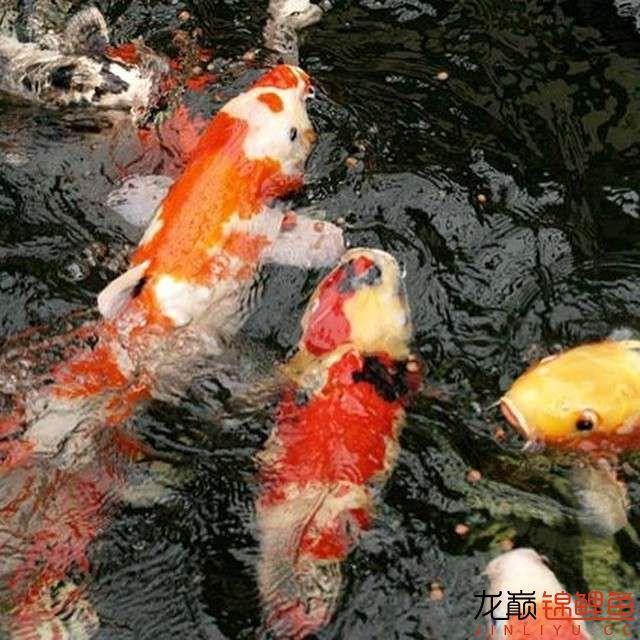 top arowana foodKoi still has to be raised in a pond Aquaculture Forum ASIAN AROWANA,AROWANA,STINGRAY The28sheet