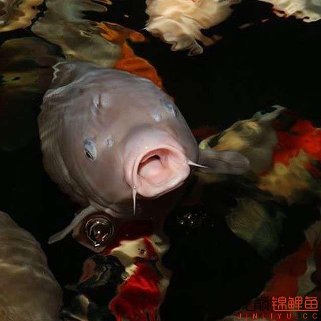 top arowana foodKoi still has to be raised in a pond Aquaculture Forum ASIAN AROWANA,AROWANA,STINGRAY The25sheet