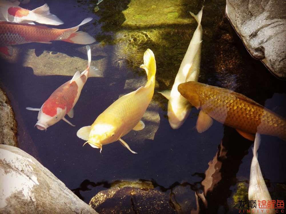 top arowana foodKoi still has to be raised in a pond Aquaculture Forum ASIAN AROWANA,AROWANA,STINGRAY The23sheet