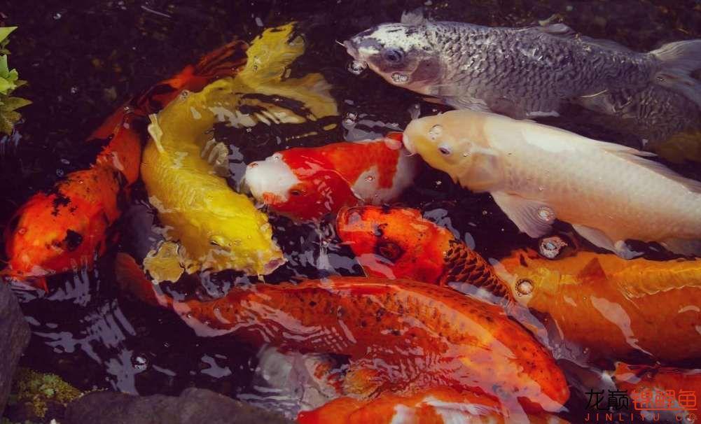 top arowana foodKoi still has to be raised in a pond Aquaculture Forum ASIAN AROWANA,AROWANA,STINGRAY The22sheet