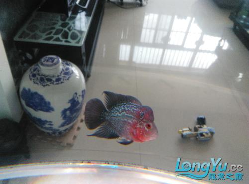帮忙看看我的这条属于什么品种 长春观赏鱼 长春龙鱼第1张