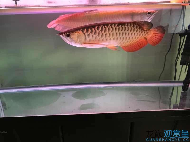 Jin Yinlong I have been to my house for 2 years send a photo to commemorate Aquaculture Forum ASIAN AROWANA,AROWANA,STINGRAY The5sheet