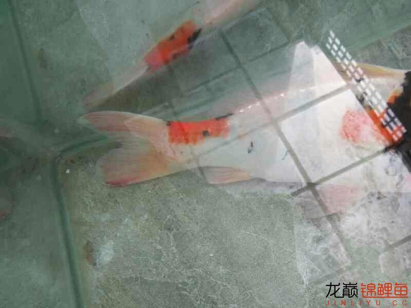 求救我的锦鲤怎么了 长沙龙鱼论坛 长沙龙鱼第3张