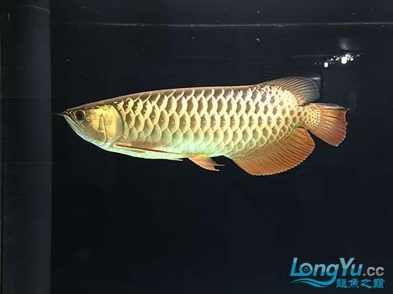 用了活水配方一个月后,鱼状态加强了不少,金质有不少提升,而且食欲大振,把我缸里的粗线、蝴蝶都咬出去了 ...