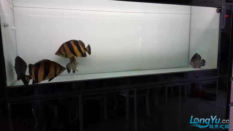出五条大泰虎,35-45cm,条条精品 太原观赏鱼 太原龙鱼第2张