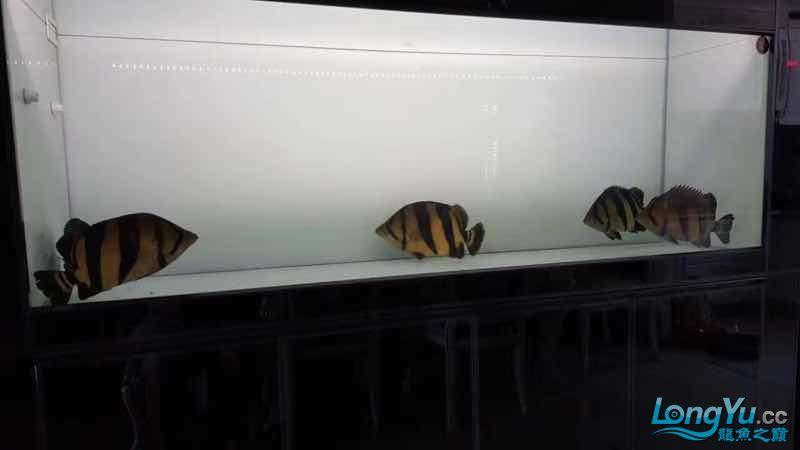 出五条大泰虎,35-45cm,条条精品 太原观赏鱼 太原龙鱼第3张