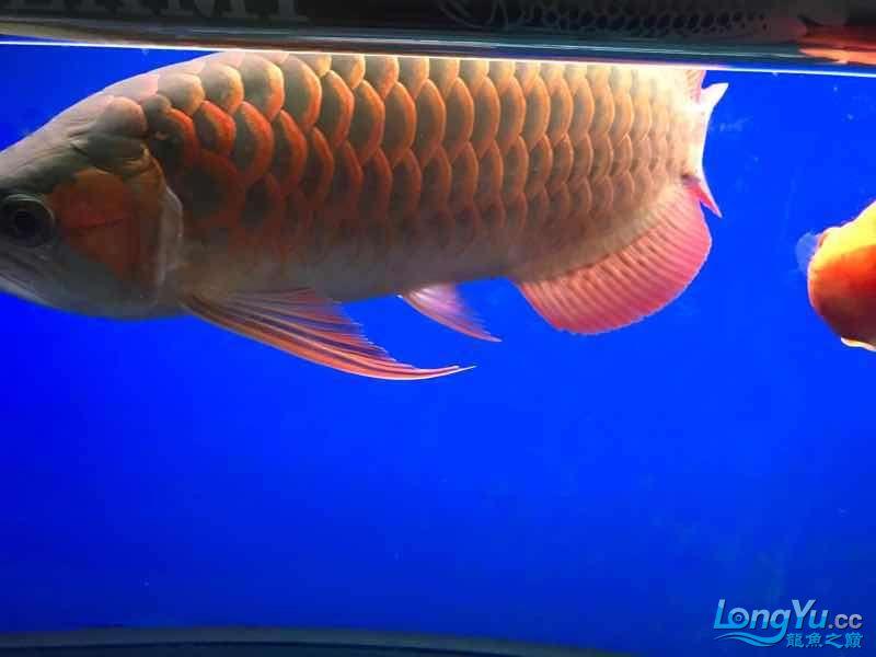 7月的鱼儿别样红 观赏鱼常见疾病 南通水族批发市场第2张