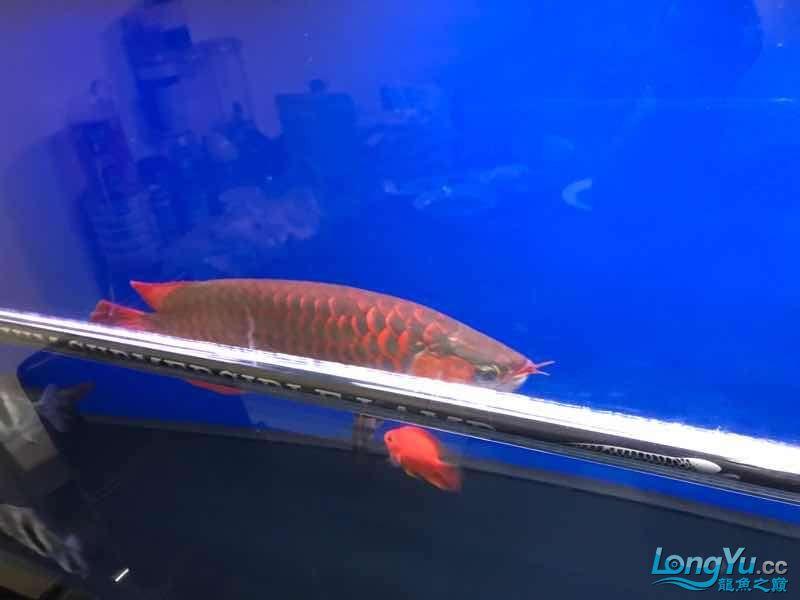 7月的鱼儿别样红 观赏鱼常见疾病 南通水族批发市场第4张