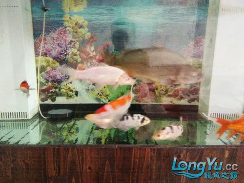 野生肥菜鲤南通祥龙水族分店