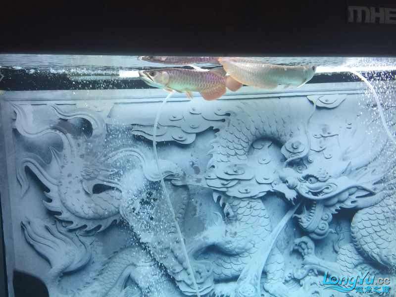 小金两个月纪念渭南直纹飞凤鱼价格