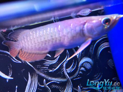 额头又南通观赏鱼缸订做亮了一点,有机会露头啊 观赏鱼常见疾病 南通水族批发市场第1张