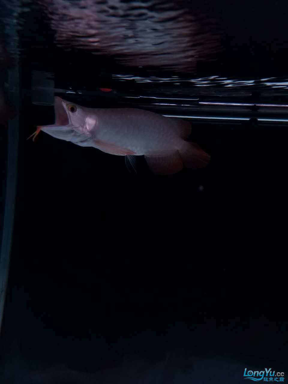 天津鱼缸价格我的小白条呀,大神进 天津观赏鱼 天津龙鱼第7张
