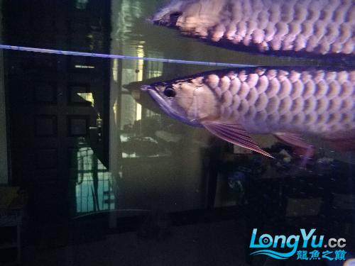 个心乸住乸住【温州哪里有水族馆】 温州龙鱼论坛 温州龙鱼第1张