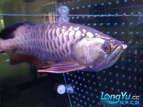 个心乸住乸住【温州哪里有水族馆】 温州龙鱼论坛 温州龙鱼第3张