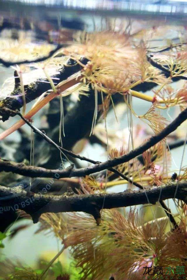 转载花树Waiting For You颠覆你对水族造景中树的印象 济南龙鱼论坛 济南龙鱼第52张