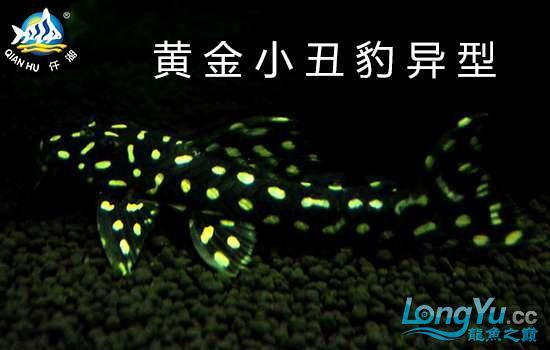 黄金小丑豹异形.jpg