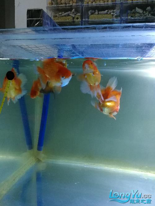 来容泰狮 哈尔滨水族批发市场 哈尔滨龙鱼第2张