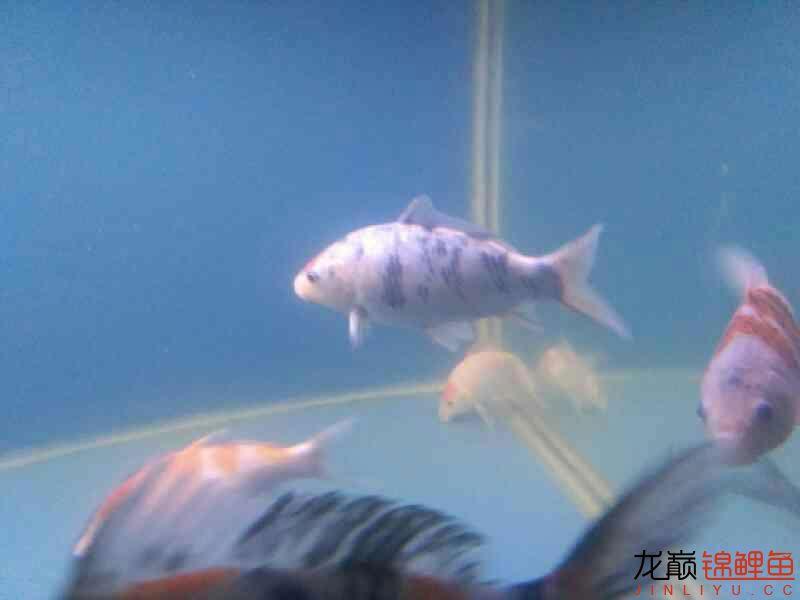 拨云哈尔滨热带鱼批发见日 哈尔滨水族批发市场 哈尔滨龙鱼第5张