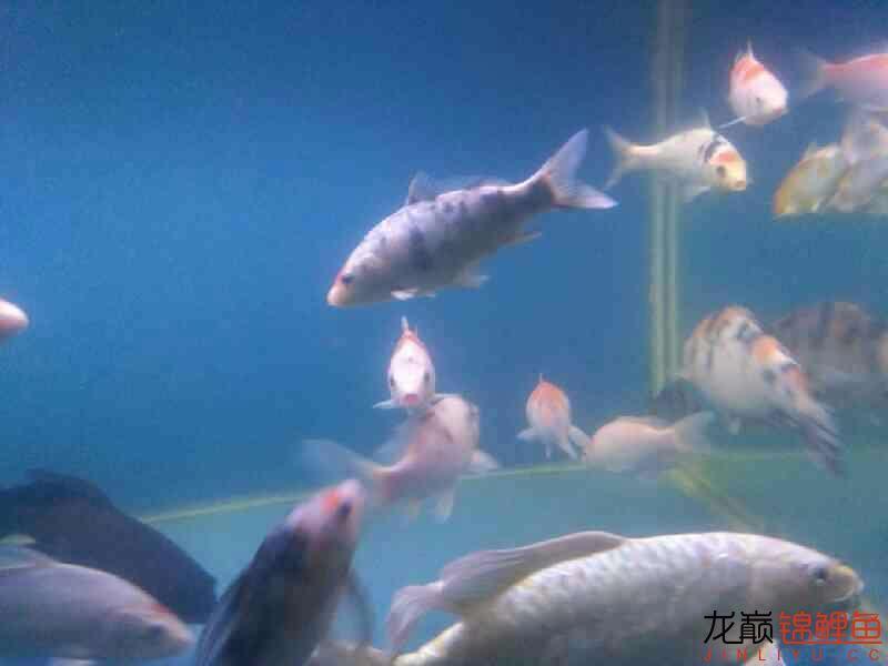 拨云哈尔滨热带鱼批发见日 哈尔滨水族批发市场 哈尔滨龙鱼第6张