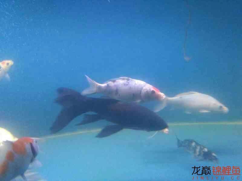 拨云哈尔滨热带鱼批发见日 哈尔滨水族批发市场 哈尔滨龙鱼第8张