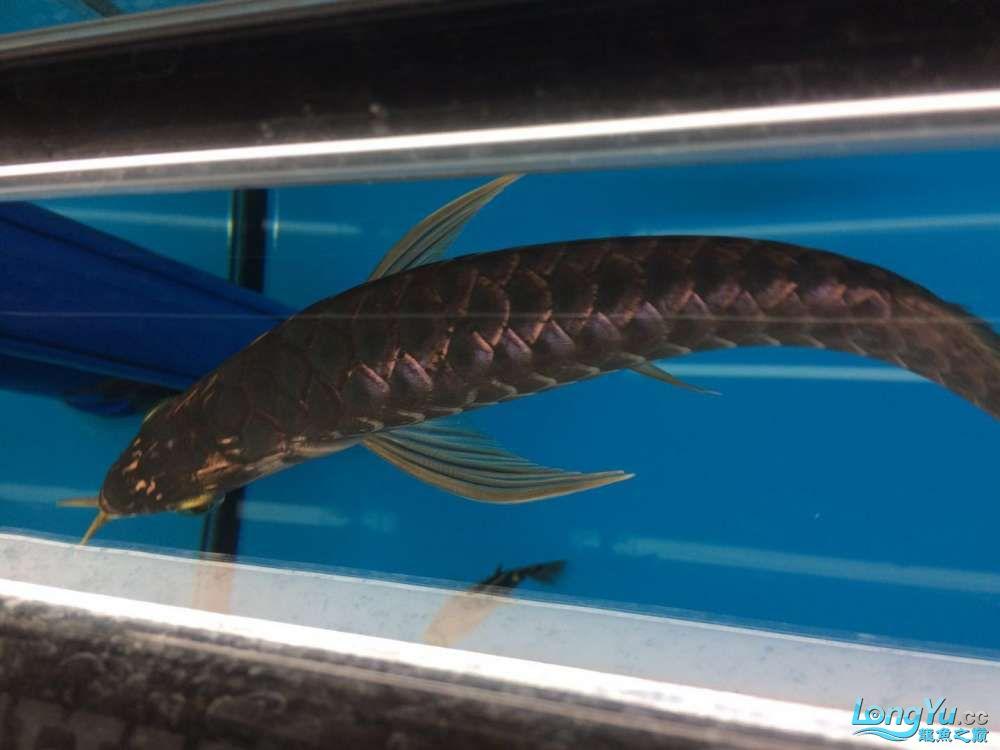 蓝底过背金龙四个月成长贴鱼友投稿三号 达州龙鱼论坛 达州水族批发市场第8张