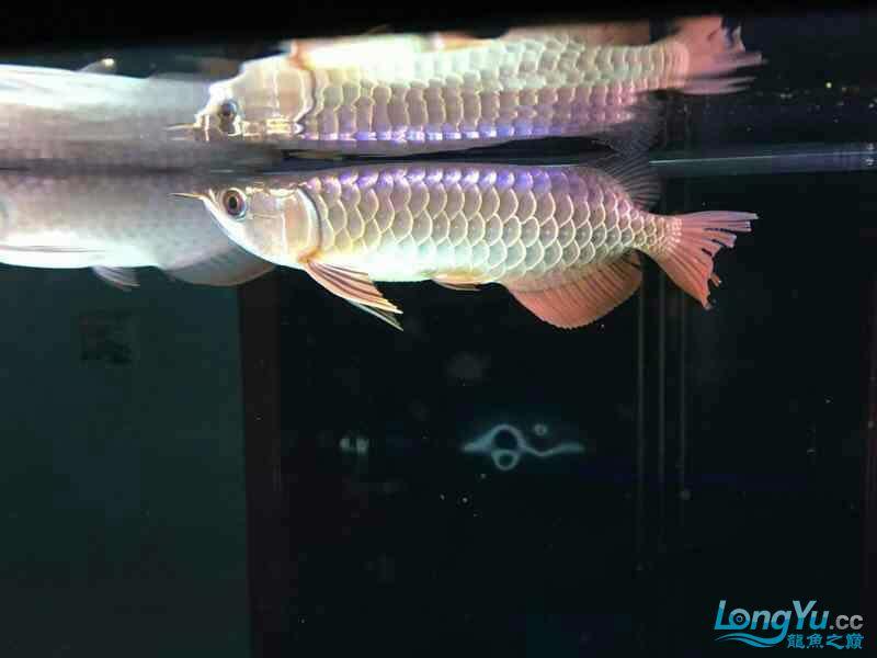 武吉美拉 古典蓝底金龙到家 大家帮我看看值多少啊 广州水族批发市场资讯 祥龙鱼场