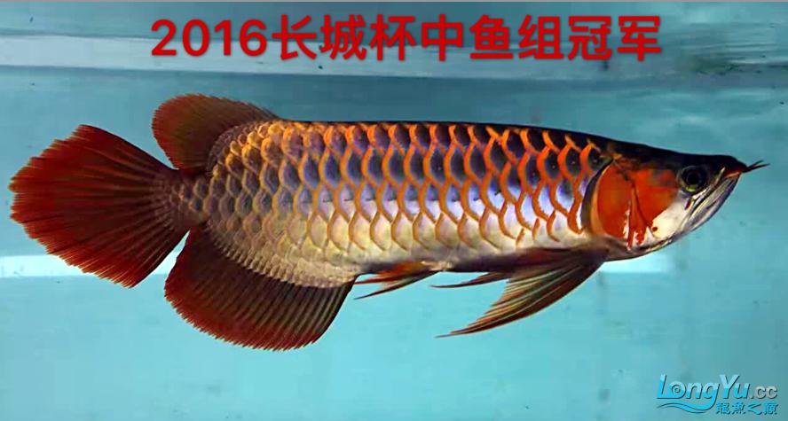 到国内一年 2016长城杯中鱼组冠军