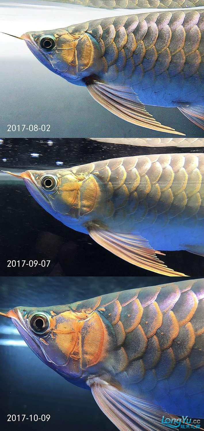 鳃部刷色逐渐扩展