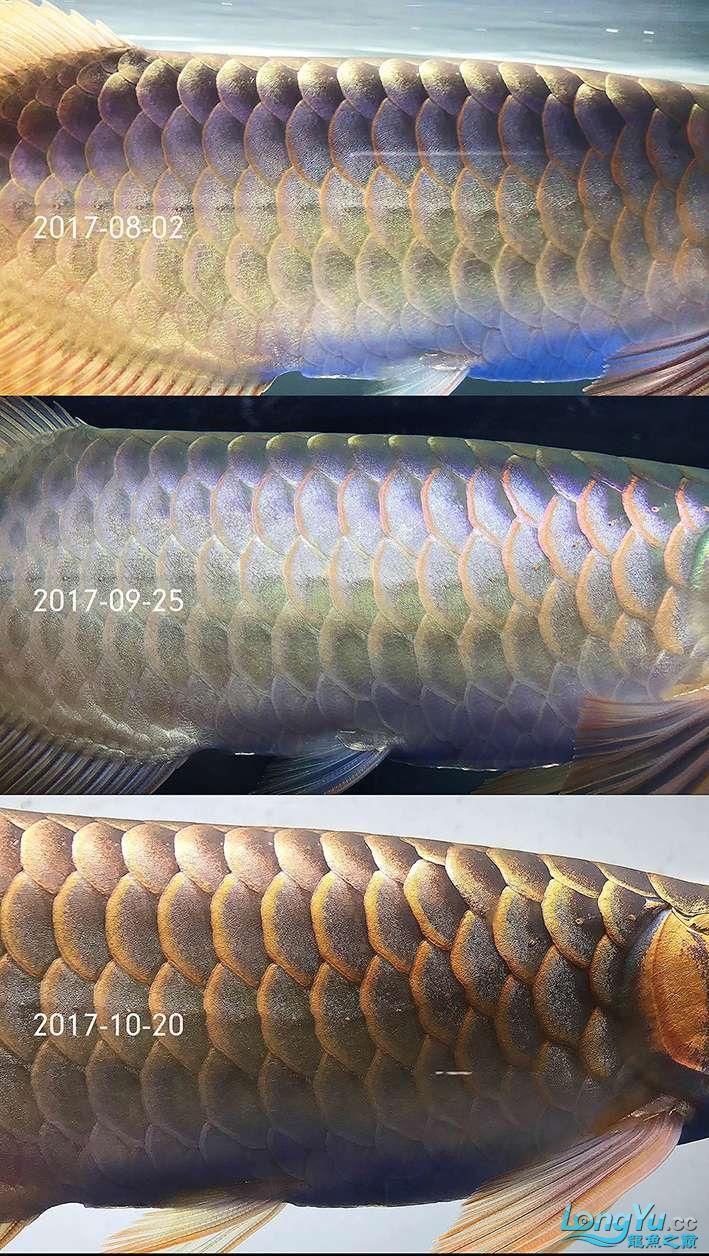 这张图能看清,随着鱼长大,鳞片的厚度也在随之增厚,意味着用光的时间可逐渐增加 ...