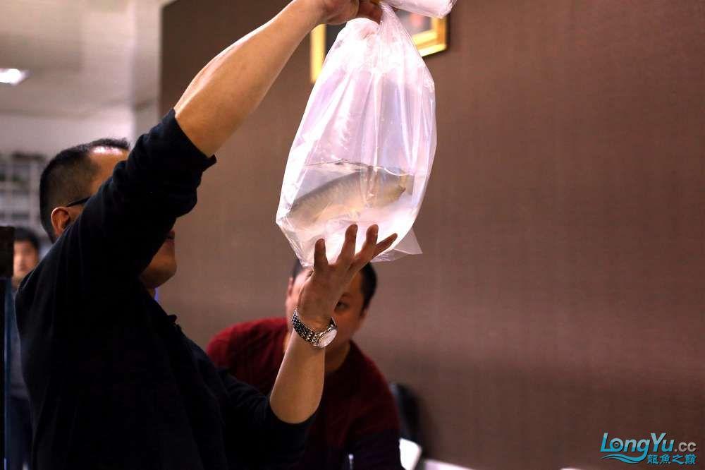 王者归来记录李亚四古典龙鱼到货 郑州水族批发市场 郑州龙鱼第4张
