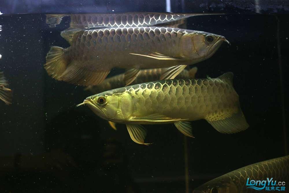 王者归来记录李亚四古典龙鱼到货 郑州水族批发市场 郑州龙鱼第8张