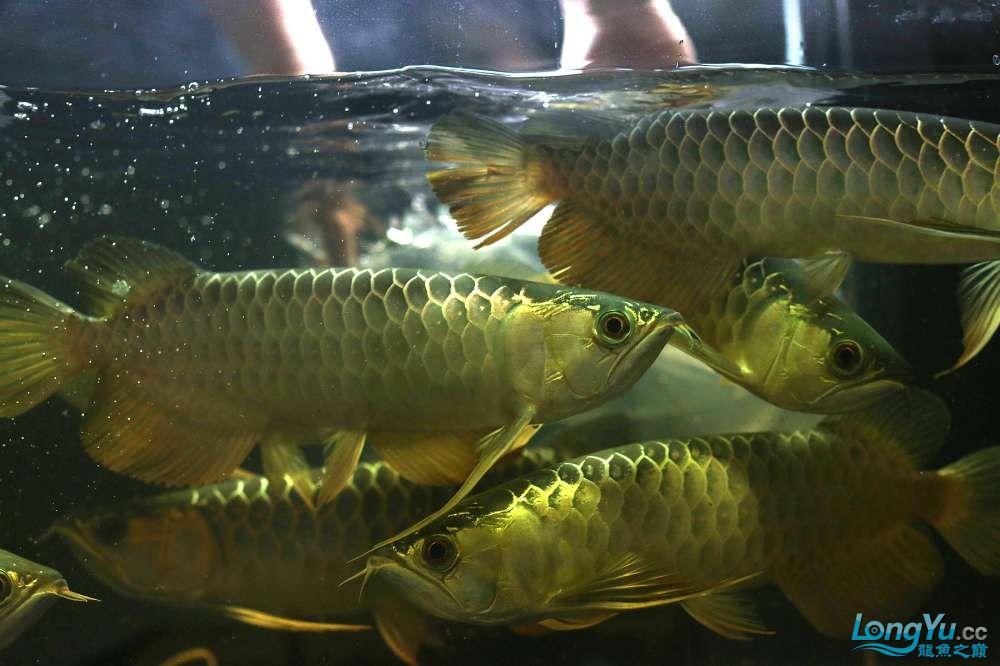 王者归来记录李亚四古典龙鱼到货 郑州水族批发市场 郑州龙鱼第9张