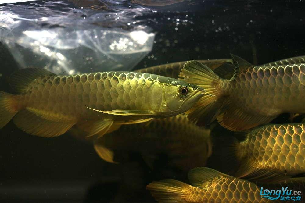 王者归来记录李亚四古典龙鱼到货 郑州水族批发市场 郑州龙鱼第44张