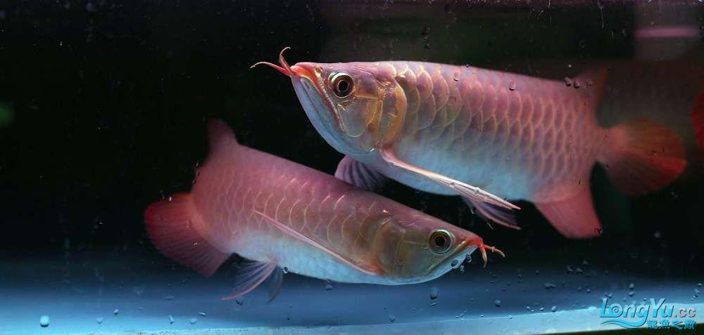 王者归来记录李亚四古典龙鱼到货 郑州水族批发市场 郑州龙鱼第14张