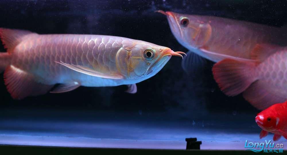 王者归来记录李亚四古典龙鱼到货 郑州水族批发市场 郑州龙鱼第13张