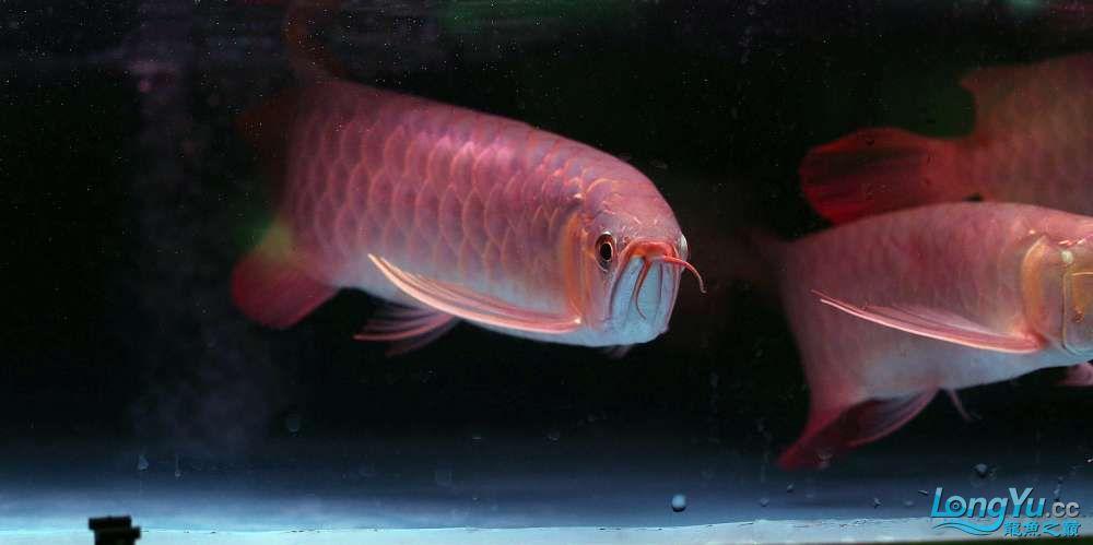 王者归来记录李亚四古典龙鱼到货 郑州水族批发市场 郑州龙鱼第11张