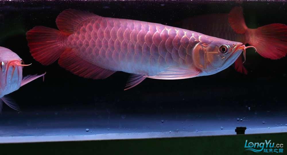 王者归来记录李亚四古典龙鱼到货 郑州水族批发市场 郑州龙鱼第16张