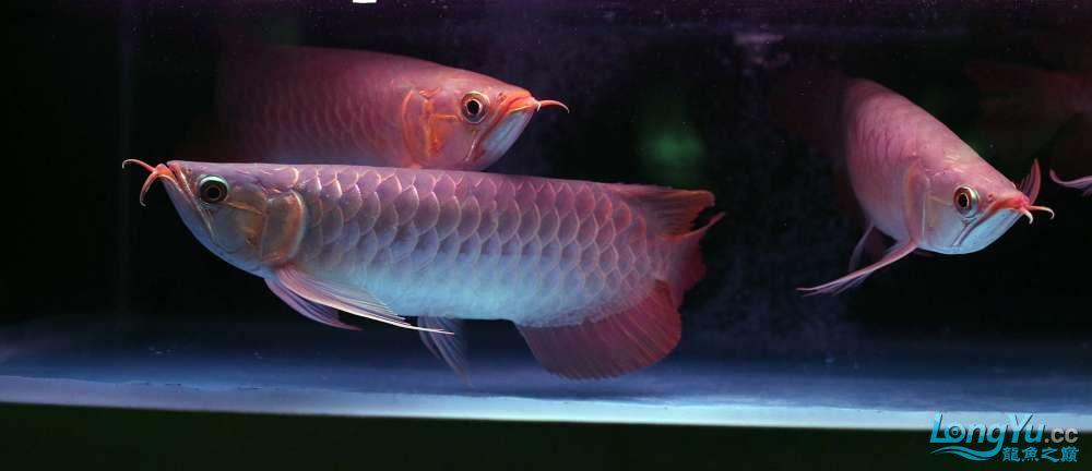 王者归来记录李亚四古典龙鱼到货 郑州水族批发市场 郑州龙鱼第17张