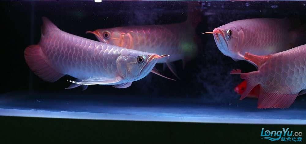 王者归来记录李亚四古典龙鱼到货 郑州水族批发市场 郑州龙鱼第20张
