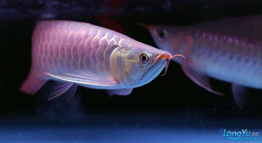 王者归来记录李亚四古典龙鱼到货 郑州水族批发市场 郑州龙鱼第19张